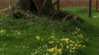 Sheepscombe Byre holiday cottage: cowslips at Taddington
