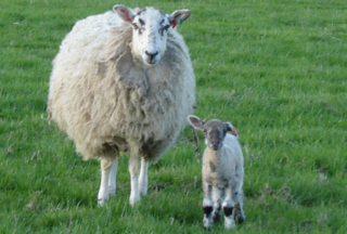 Sheepscombe Byre: Ewe and lamb