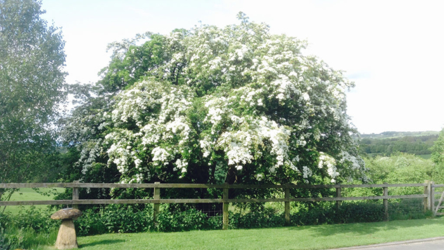 Sheepscombe Byre holiday cottage: Jacki's May tree