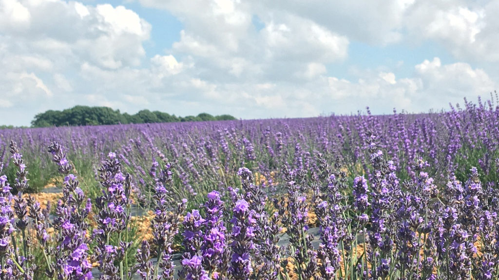 Sheepscombe Byre holiday cottage: Snowshill lavendar fields