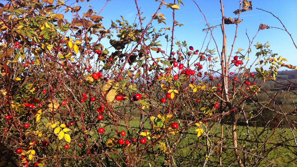 Sheepscombe Byre holiday cottage: Autumn berries